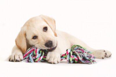 Nálepka Labrador puppy biting in a coloured toy
