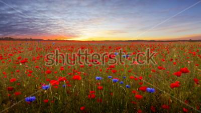 Nálepka Landscape with poppies in Jutland, Denmark at sunset
