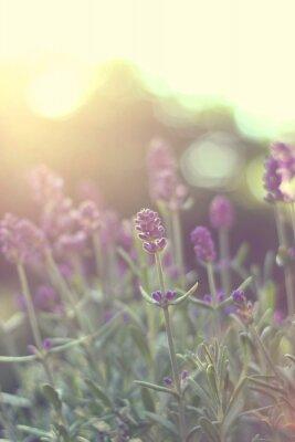Nálepka Lavendel im gegenlicht