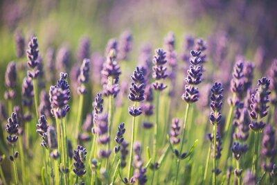 Nálepka Lavender