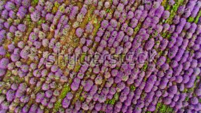Nálepka Lavender field aerial view. Top view.