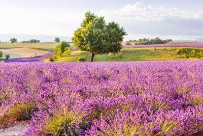 Nálepka Lavender fields near Valensole in Provence, France on sunset