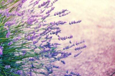 Nálepka Lavender in wild, toned