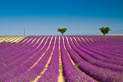 Nálepka Lavender květiny kvetoucí voňavé pole