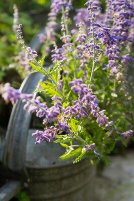 Nálepka Lavender květiny v zahradě konev