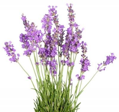 Nálepka Lavender, Lavender Barevný, Flower.