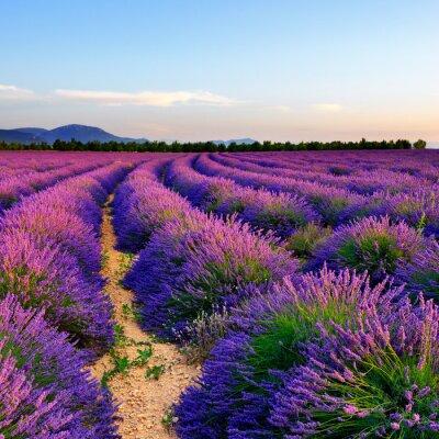 Nálepka Lavender pole