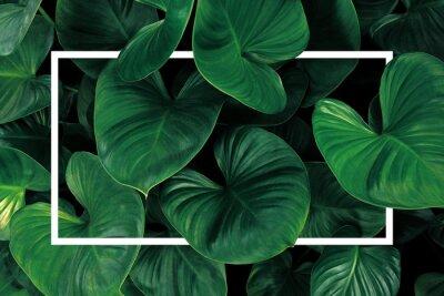 Nálepka Leaf pattern nature frame layout of heart shaped green leaves Homalomena tropical foliage plant on dark background with white frame border.