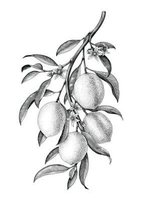 Nálepka Lemon větev ilustrace černé a bílé vintage clip art isolate na bílém pozadí