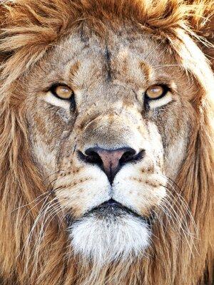 Nálepka Lev (Panthera leo)