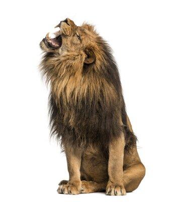 Nálepka Lev řvoucí, posezení, Panthera Leo, 10 let starý, izolované