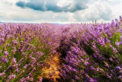 Nálepka levandule pole, Plateau de Valensole, Provence, Francie