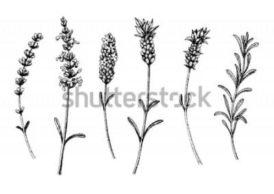 Nálepka Levandulové květy divočiny a kultivary. Vintage květinový set. Inkoust ručně tažené skica. Vektorové ilustrace.