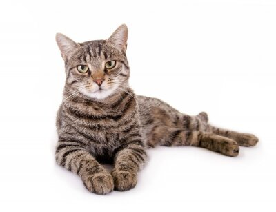 Nálepka Lhaní, mourovatá kočka