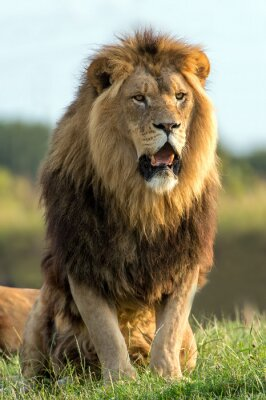 Nálepka Lion