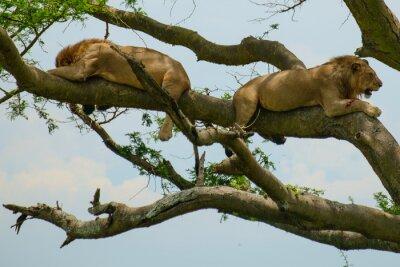 Nálepka Lion 6