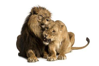 Nálepka Lion and lioness cuddling, lying, Panthera leo, isolated