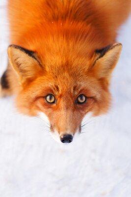 Nálepka liška