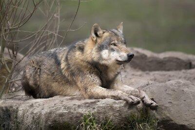 Nálepka Loup gris