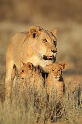 Nálepka Lvice s mladými lvíčata (Panthera leo) v ranním světle, poušť Kalahari, Jižní Afrika.