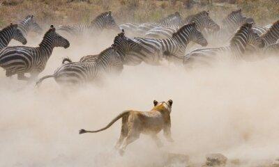 Nálepka Lvice útok na zebra. Národní park. Keňa. Tanzanie. Masai Mara. Serengeti. Vynikající ukázkou.