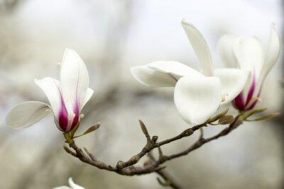 Nálepka Magnolia.