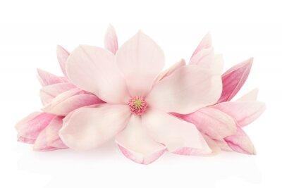 Nálepka Magnolia, růžové jarní květiny a poupata na bílém, ořezové cesty