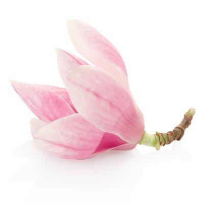 Nálepka Magnolia, růžový jarní květiny na bílém, ořezové cesty