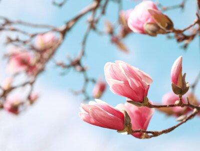 Nálepka Magnolia tree květ na jaře