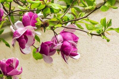 Nálepka magnólie květiny na pozadí blurY