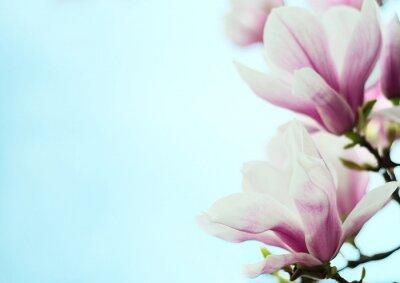 Nálepka magnólie květiny na pozadí modré oblohy