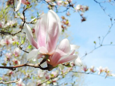 Nálepka magnolie strom květ