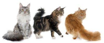 Nálepka Mainská mývalí kočky