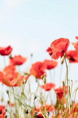 Nálepka Mák květiny retro klidný letní pozadí