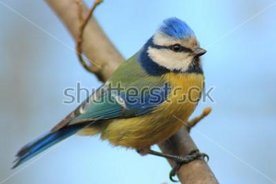 Nálepka Modrá sýkorka na větvi přední krásné pozadí