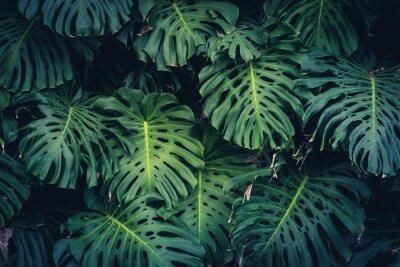 Nálepka Monstera Philodendron listy - tropická lesní rostlina