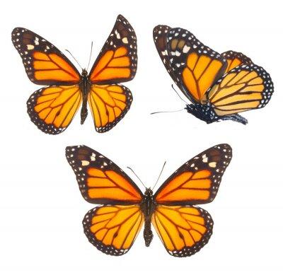 Nálepka motýl monarcha