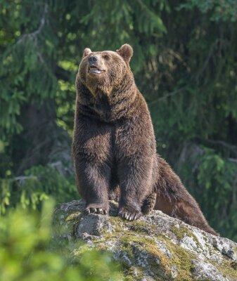 Nálepka muž medvěd hnědý