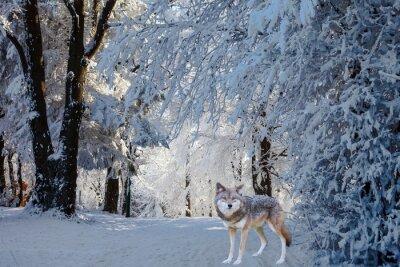 Nálepka Nádherné bílé polární vlk přišel k lovu