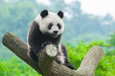 Nálepka Obří panda lezení ve stromu