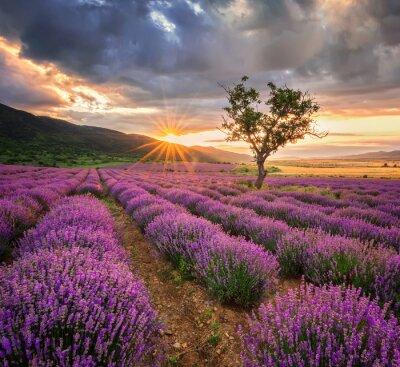 Nálepka Ohromující krajiny s levandulí pole při východu slunce