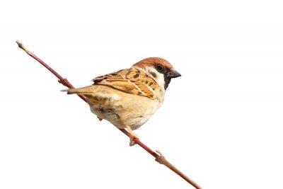 Nálepka ojedinělých samec vrabec na větvičce