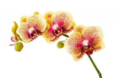 Nálepka Orchid květiny na bílém pozadí.