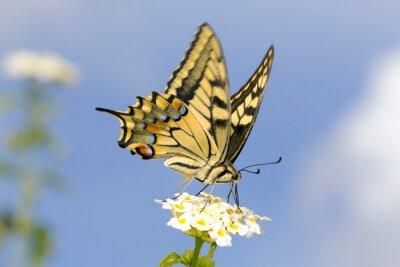 Nálepka Otakárek krmení na Lantana květiny. Pomalá rychlost závěrky k zachycení křídla chvění.