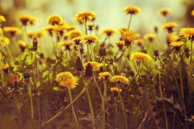 Nálepka Pampeliška květiny při západu slunce proti obloze. Vintage korekce barev
