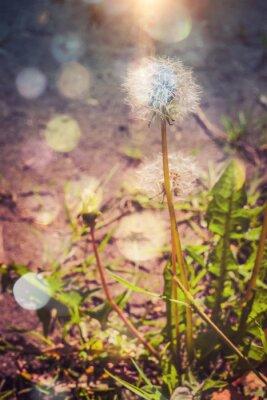 Nálepka Pampeliška v zahradě filtrován