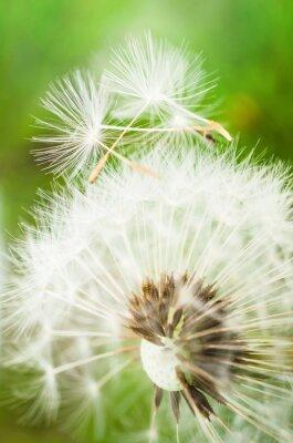 Nálepka Pampelišky se dvěma semeny na vrcholu