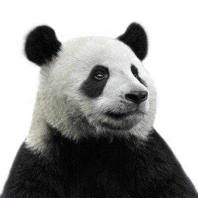 Nálepka Panda bear na bílém pozadí