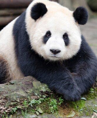 Nálepka Panda pro kameru, Chengdu, Szechuan, Čína