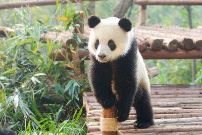 Nálepka Panda zvědavě stálé, Chengdu, Szechuan, china